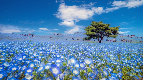Spring season in japan, People love to walk in this blue carpet flowers (Nemophila blue flowers) at Hitachi seaside park Ibaraki.